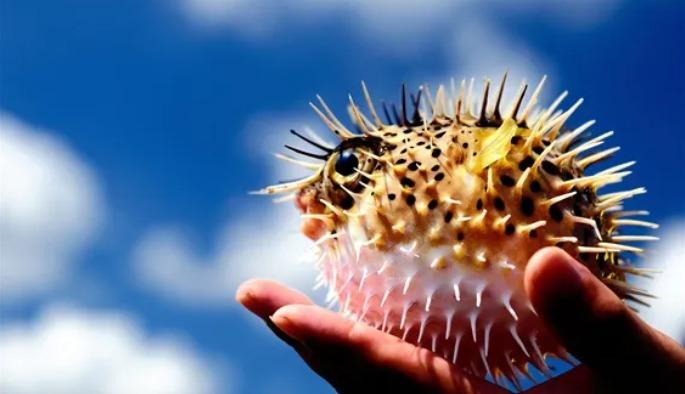 ফুগু মাছ বা পটকা মাছ পৃথিবীর সব থেকে বিষাক্ত মাছ